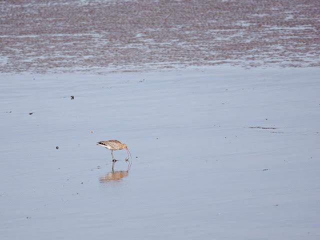 Ein Großer Brachvogel stochert im Watt (300mm, f/4, 1/1000sek., ISO200)
