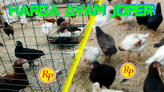Gambar Info Harga Ayam Joper Terbaru