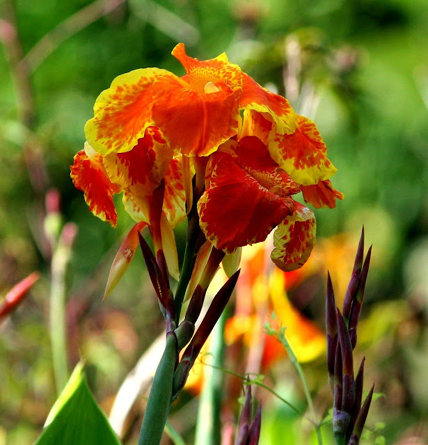 Orange and yellow canna flower image