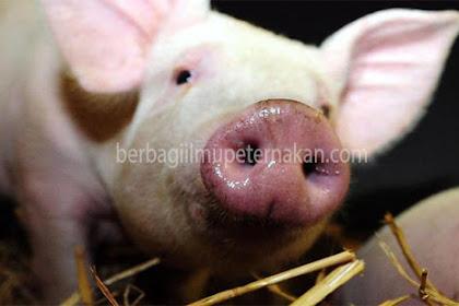 Deteksi Tanda Kebuntingan Pada Babi