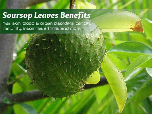 Manfaat daun sirsak masih banyak yang terpendam dan jarang diketahui Manfaat Daun Sirsak Untuk Kesehatan Yang Jarang Diketahui