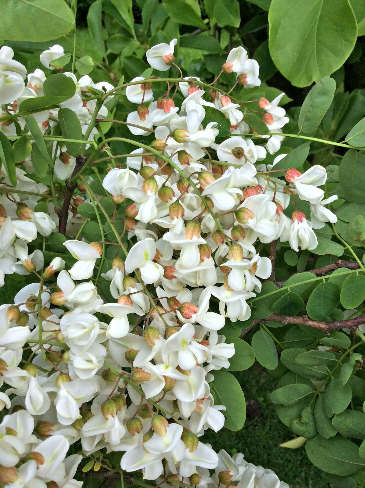 ricetta dolce con i fiori di acacia