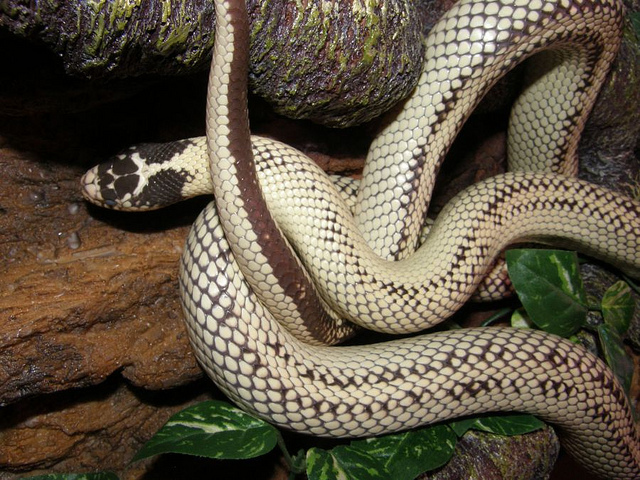 Snake Eyes Hd Wallpapers Snakes Banana King Snake
