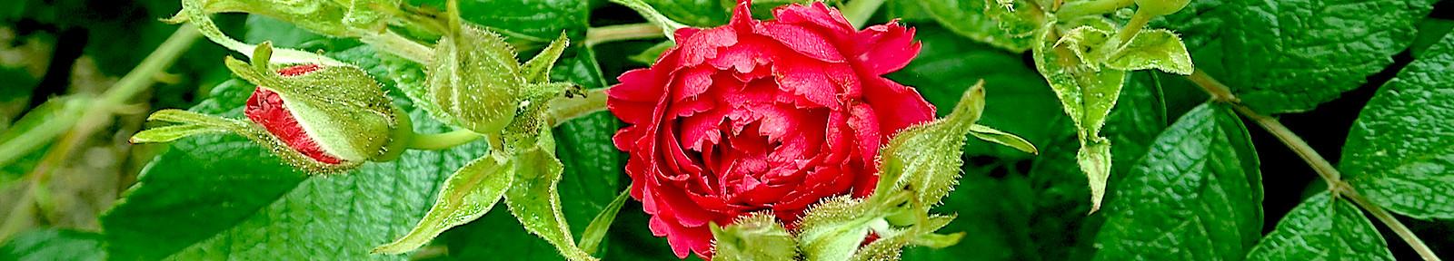 Розы для праведного Адама