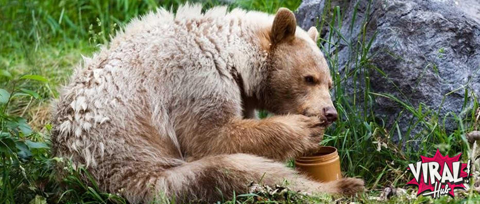 Urso sentado na grama comendo mel
