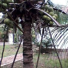 kelapa kopyor