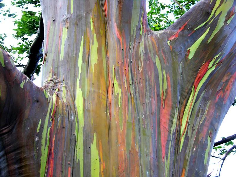 rainbow eucalyptus; rainbow eucalyptus tree; rainbow tree; eucalyptus deglupta; rainbow eucalyptus wood; rainbow eucalyptus wood; colorful tree; rainbow eucalyptus trees; rainbow eucalyptus maui; eucalyptus color; rainbow trees;