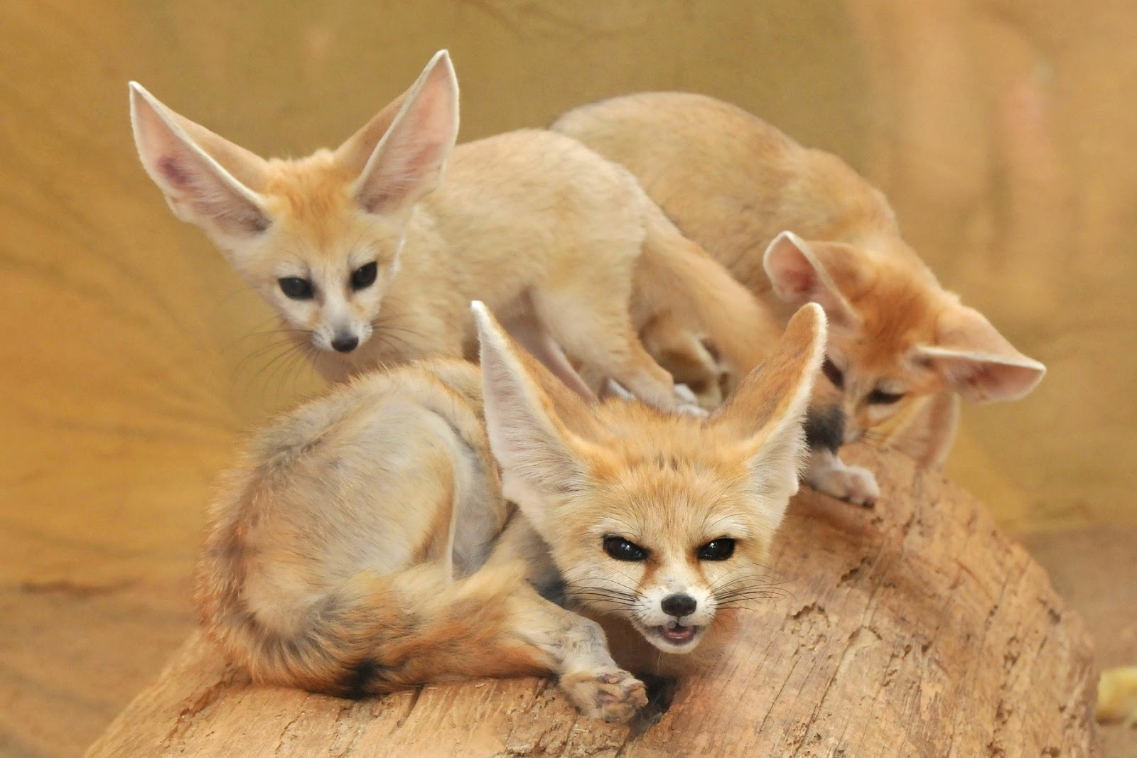Fennec Fox Facts And Pictures-images | All Wildlife ...
