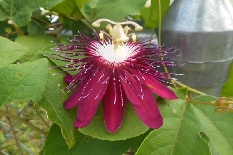 Passiflora 'Lady Margaret'