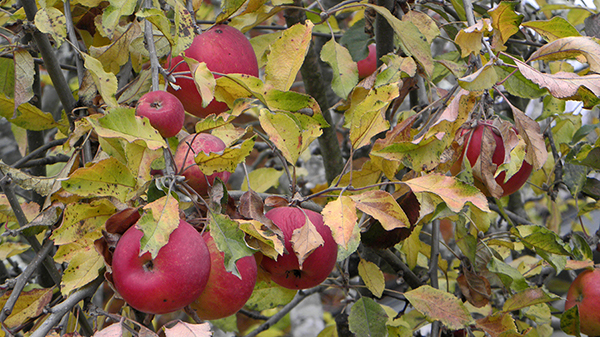 Ripe and Overripe Red apples on Tree