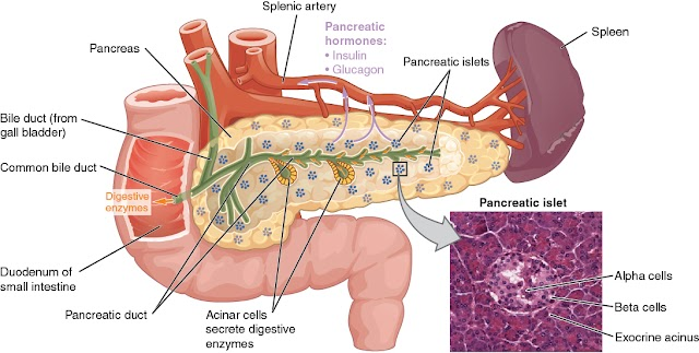 What does the pancreas do: Functions of Pancreas, Pancreatitis and Pancreatic Cancer