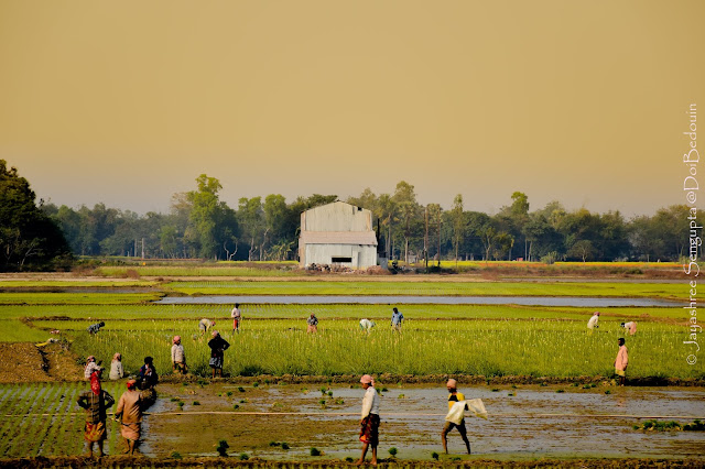 Location: Balichak, West Midnapore District, West Bengal, India. The rice paddy field flocked with the workers adding colors to the frame. @DoiBedouin