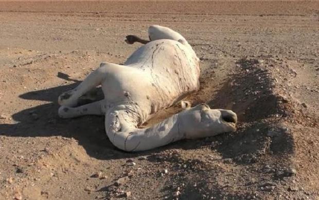 Con vật chết trương phình bụng đầy xót xa nhưng bất kỳ ai lại gần cũng phải hối hận nếu biết sự thật tệ hại về nó