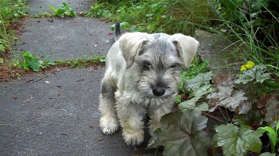 F2 Schnoodle Temperament, Size, Lifespan, Adoption