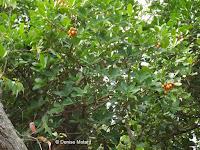 Scarlet gum tree - Pukekura Park, New Plymouth, New Zealand