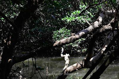 masih banyak burung di Hutan Mangrove Taman Hutan Raya Ngurah Rai Bali - Backpacker Manyar