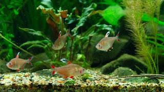 Ikan Aquascape Terindah Rossy Tetra
