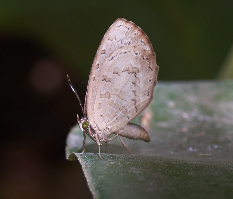 little brown butterfly, take one,Philippines,tropical rain forest