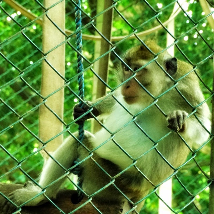 Macaco caranguejeiro curioso com a briga