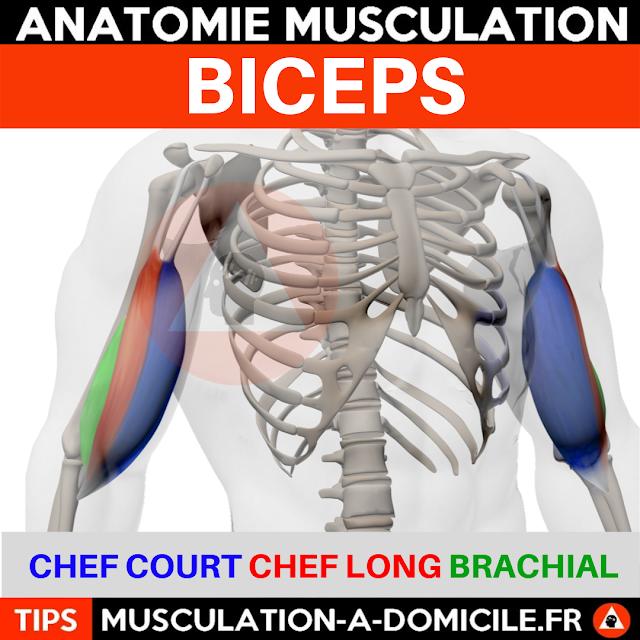 musculation à domicile anatomie des muscles biceps