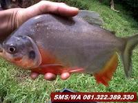 Oplosan Essen Ikan Bawal