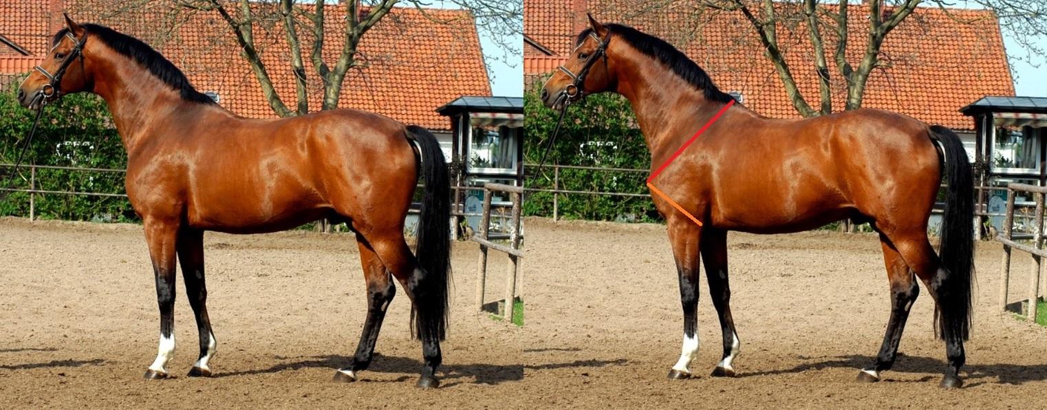 Exemple d'une épaule oblique ou inclinée chez le cheval.