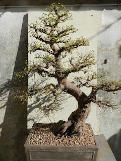 Voici l'arbre après rempotage. Une petite modification de la face devra être faite lors d'un prochain rempotage qui nécessitera une nouvelle intervention sur les racines. Mais c'est une autre histoire.....