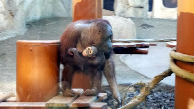 zoo palmyre charente maritime  bebe singe