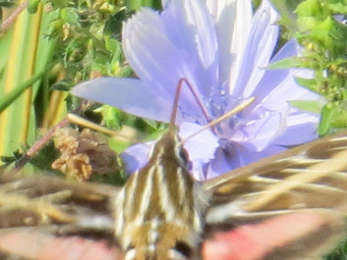 white lined hawk moth on chicory