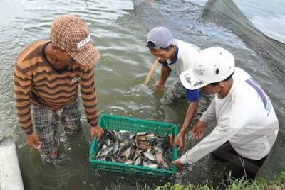 harga bibit ikan gurami, pakan ikan gurame, mempercepat pembesaran ikan gurame, ukuran kolam gurame 1000 ekor, pembeli ikan gurame, cara menjual ikan gurame, penampung ikan gurame,