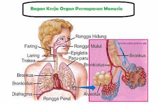 bagan kerja organ pernapasan manusia www.simplenews.me