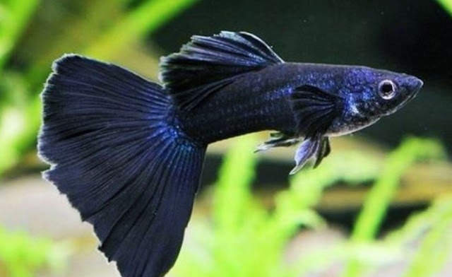 jenis ikan guppy black moscow