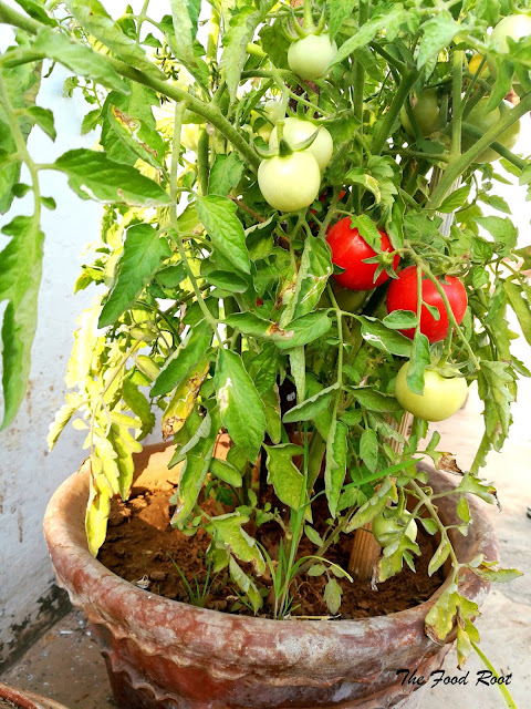 tomato plant at my terrace ready for another harvest