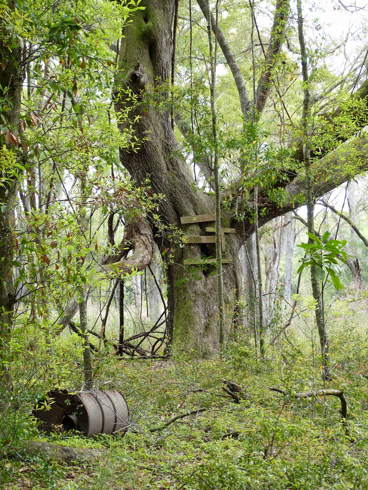 The Homespun Heart On Oak Trees And Roots