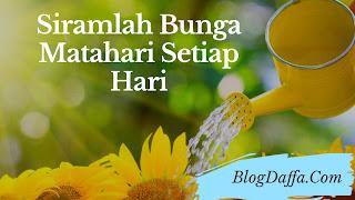 Siramlah bunga matahari secara teratur dan rutin