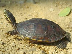 endangered asiatic turtles