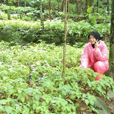 tinggi pohon daun pohpohan sumber pangan dari hutan