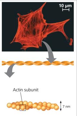 Microfilaments adalah, Actin Filaments, struktur Microfilaments (Actin Filaments)