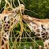 Une girafe de Rothschild née à Bellewaerde