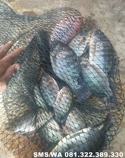 Essen Aroma Sereh Untuk Ikan Nila Galatama