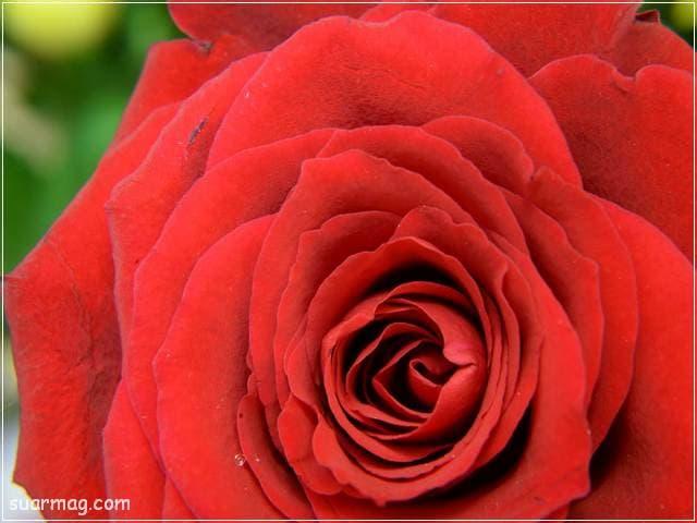 ورد احمر طبيعي 17 | Natural red roses 17