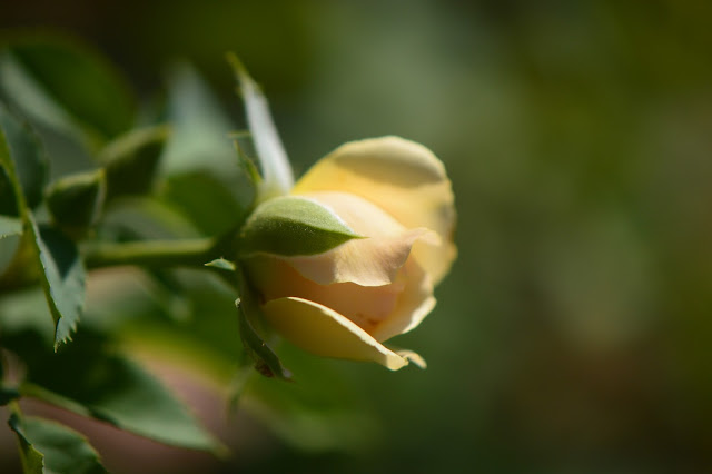 amy myers photography, rose leaves, waterdrop, photography, garden, small sunny garden, desert garden