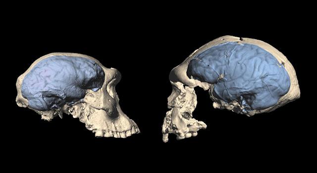 Modern human brain originated in Africa around 1.7 million years ago