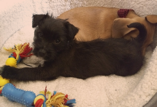 Patterpoo puppy