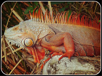 AN ADULT GREEN IGUANA IN FULL REGALIA IS A SPECTACULAR AND BEAUTIFUL BEAST. THIS VERY RED INDIVIDUAL (ORIGINALLY FROM CUBA) WAS PHOTOGRAPHED IN FLORIDA BY CARY BASS, LICENSED UNDER CREATIVE COMMONS ATTRIBUTION-SHARE ALIKE 3.0 UNPORTED LICENSE.