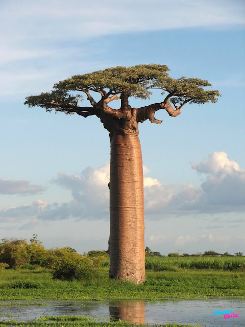 Baobab : Pohon Unik dari Afrika