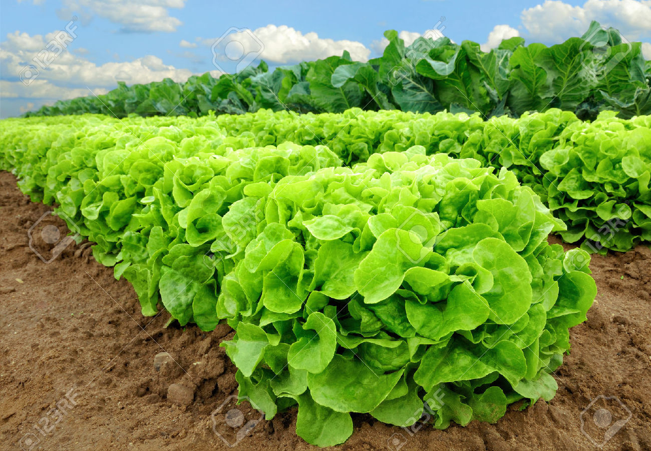 Lettuce, (生菜, Shēng cài) sounds like 'growing wealth' in Chinese.