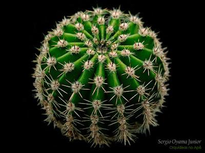 Cacto Echinopsis oxygona