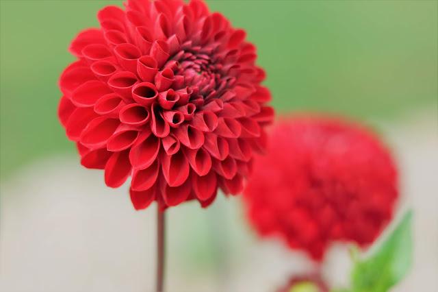 Dahlia, red, flower, book a bloom, gardening, gardens, gardener, athomewithjemma
