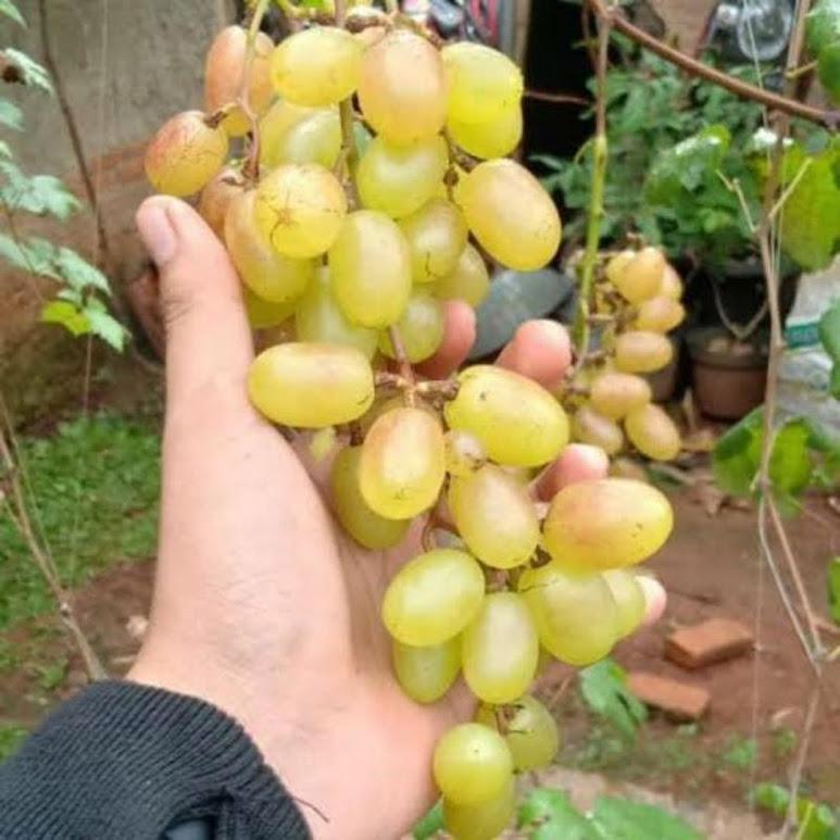 Bibit Anggur Import Jenis Gold finger Kalimantan Timur
